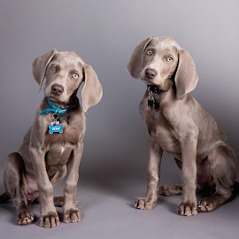Weimaraner puppies 1 by Jen St. Louis - Animals - Dogs Puppies ( studio, dogs, weimaraner puppies, portrait, puppies, weimaraners,  )