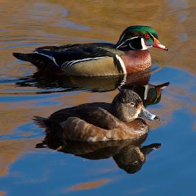 Ducks by D. Bruce Gammie - Animals Birds ( ducks not flying yet, floating ducks, duck, ducks, 2 ducks )