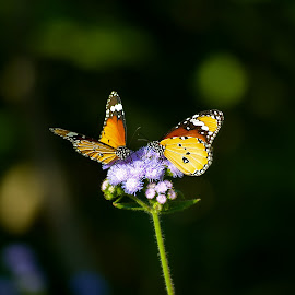 Butterfly on the flower by Subal Soral - Animals Other (  )