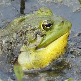 Croaking Bullfrog by Jo Anne Keasler - Novices Only Wildlife