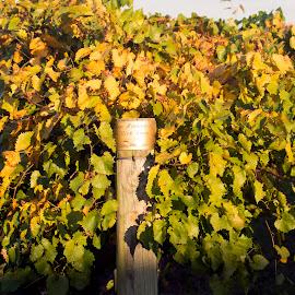 Hinnant Farms Vineyard Post by Gary Langston Jr. - Nature Up Close Gardens & Produce ( winegrapes, vineyard, hinnant )