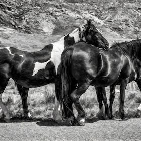 bw horses.jpg