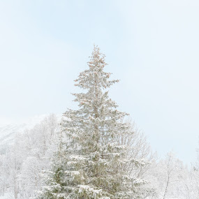 tree in winterlandscape by Benny Høynes - Landscapes Forests ( winter, cold, wood, tree, norway )