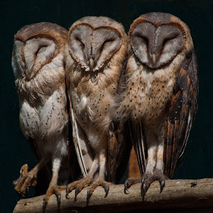 3 Owls.jpg
