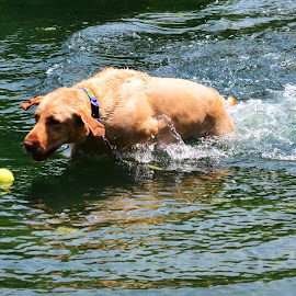 Pond Time by Michael Cowan - Animals - Dogs Playing