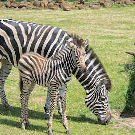 Zebras by Kellee Wright - Animals Other Mammals ( wild animal, zebra, baby animals, stripes, animal )
