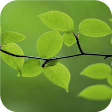 Tree leaves. Green wallpapers
