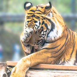 Siberian tiger grooming itself by Jackie Nix - Animals Lions, Tigers & Big Cats ( grooming, big cat, predator, orange, carnivore, licking, birmingham zoo, siberian tiger, asia, stripes, feline, panthera tigris altaica )
