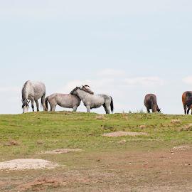 by Randy LaMora - Animals Horses ( wild horse )