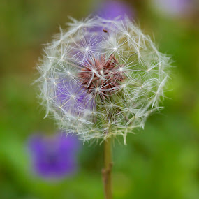 Make a wish by Chris Taylor - Nature Up Close Other plants ( up close, macro, dandelion, plants, flowers, spring )