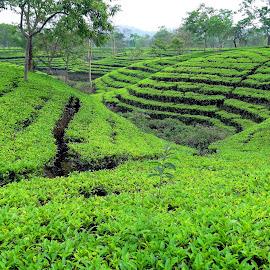 Tea field by Asif Bora - Landscapes Prairies, Meadows & Fields
