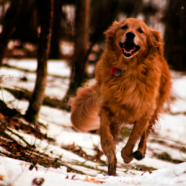 Cold N Retriever 2 by Dave Skorupski - Animals - Dogs Running ( retriever, furry, joy, woods, running, goldenretriever, canine, nature, pet, happy, path, trees, fur, dog, smile, golden, smil;ing,  )