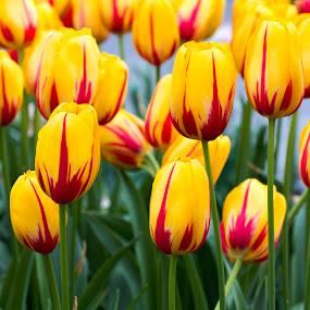 Spanish tulip by Pedro Varão - Flowers Flower Gardens (  )