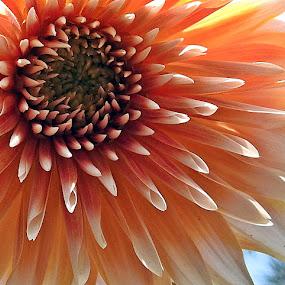 Dahlia 15 by Pradeep Kumar - Flowers Single Flower