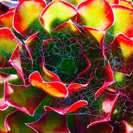 Groeneweide by Martha van der Westhuizen - Instagram & Mobile iPhone ( succulent, colourful, bright, spiderweb, closeup, luminous, colours,  )