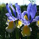 """Dutch Iris """"Oriental Beauty"""""""