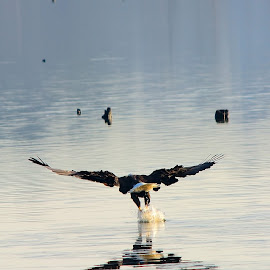 The Catch by Loren Holloway - Animals Birds ( water, eagle, conway lake, eagle fishing, arkansas )