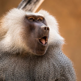 Baboon by Ken Pace - Animals Other Mammals ( baboon, zoo, phoenix, portrait, animal )
