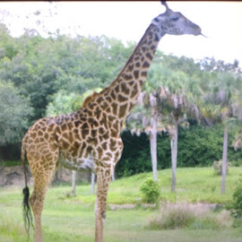 Where the wild things are  by Alexys Velazquez - Animals Other ( giraffe )