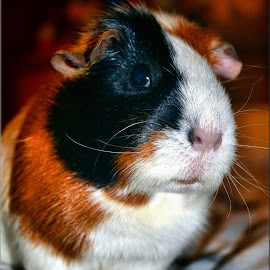 Barney posing by Nic Scott - Animals Other ( pet, rodent, animal, guinea pig )
