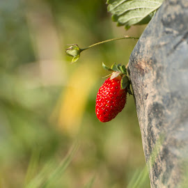 Berry Red by Jenkinson Balinggan - Nature Up Close Gardens & Produce ( fruit, red, nature, nature up close, nature close up, natural, strawberry )