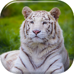 White Tiger Live Wallpaper 6.0 Apk