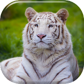 Free White Tiger Live Wallpaper APK for Windows 8