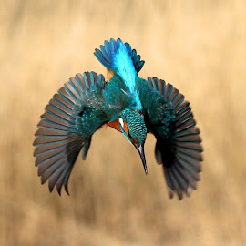 by Roy Balfour - Animals Birds ( kingfisher dive.kingfisher wing spread.colourfull kingfisher.kingfisher action shot )