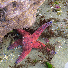 A Real Star! by Billie Harlow - Animals Sea Creatures ( undersea world, nature, stars, starfish, beautiful colors of nature, tideline, renewal, green, trees, forests, natural, scenic, relaxing, meditation, the mood factory, mood, emotions, jade, revive, inspirational, earthly )