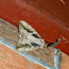 Sweetheart Underwing Moth