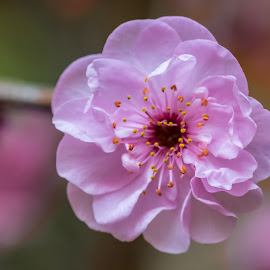 One Sign of Spring by Keith Sutherland - Uncategorized All Uncategorized ( macro, delecate, pink, cherry blossom, spring )