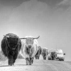 Traffic Jam by Stefen Dicks - Transportation Automobiles ( scotland, horns, traffic, line, cow, horn, jam, travel, cattle, walk, rural )