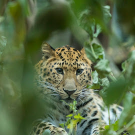 Amur leopard (Panthera pardus orientalis) by Kalle Pihelgas - Animals Lions, Tigers & Big Cats ( estonia, cat, far, panthera, orientalis, pardus, predator, zoo, critically, endangered, amur, eastern, big, leopard, tallinn )