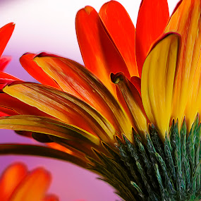 Gerber Glow by Bill Tiepelman - Nature Up Close Flowers - 2011-2013 ( petals, gerber daisy, daisy, glow, gerber, flower,  )