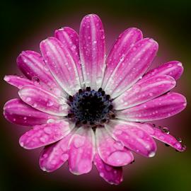 by Dipali S - Digital Art Things ( nature, flora, drops, daisy, rain, flower )