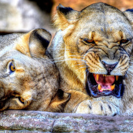 Sibling rivalry by Jim Pruett - Animals Lions, Tigers & Big Cats