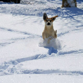 Loving the snow by Dixie Richie - Animals - Dogs Running (  )