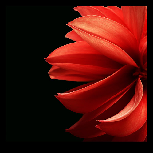 Dahlia by Delia Galhotra - Nature Up Close Flowers - 2011-2013 ( plant, digiphotography, red, nature, petals, dahlia, photography, flower, black )