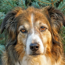 English Shepherd - Sage Portrait -1 by Twin Wranglers Baker - Animals - Dogs Portraits