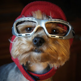 Pilot by Jofi Maly - Animals - Dogs Portraits ( glasses, cap, pilot, dog, portrait )