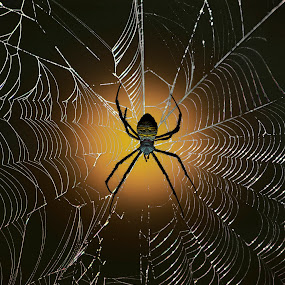 Whitebacked Garden Spider by Jun Santos - Animals Insects & Spiders ( nature, web, spider, insect, animal )