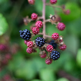Summer berries by Edward Swift - Food & Drink Fruits & Vegetables ( wild fruit, berry, fruit, fruits, summer, fruits and vegetables, berries )