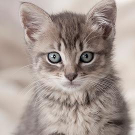 Georgie (2011) by Claudius Cazan - Animals - Cats Kittens ( kitten, cat portrait, gray, posing, tabby )