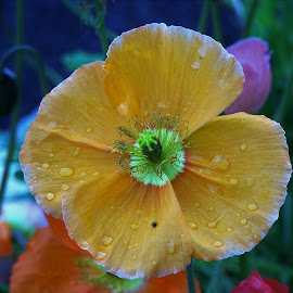 Poppy by Sarah Harding - Novices Only Flowers & Plants ( plant, nature, novices only, garden, flower )