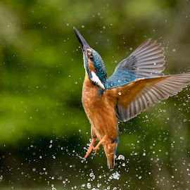 Kingfisher by Charlie Davidson - Animals Birds ( water, bird, scotland, wild, nature, blue, wings, wildlife )
