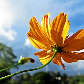 Sun flower by Shambhunath Sadhu - Nature Up Close Gardens & Produce ( sky, nature, sunflower, yellow, flower )
