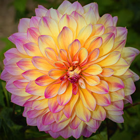 Princess Of Dahlias by Marco Bertamé - Flowers Single Flower ( petals, pink, yellow, dahlia,  )