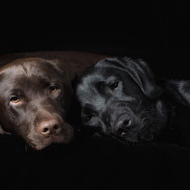 Best of Friends by Linda Johnstone - Animals - Dogs Portraits ( black background, black dog, puppies, dogs, brown dog, sleeping dog, sleeping, labrador )