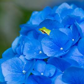 Hydrangea  by Jerry Cahill - Flowers Single Flower