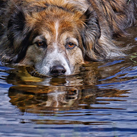 Cooling Off In a Pond by Twin Wranglers Baker - Animals - Dogs Playing (  )